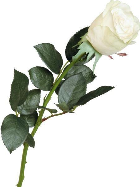 фото одной розы на белом фоне что бросили